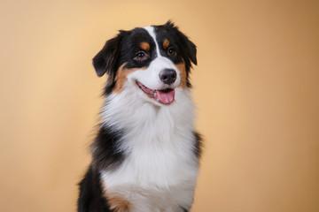 Dogs breed Australian Shepherd, Aussie, portrait in the studio