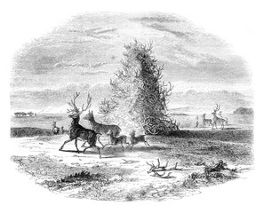 Pyramid staghorn in the upper Missouri, vintage engraving.