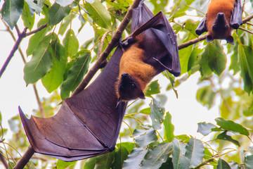 Lyle's flying fox,  Pteropus vampyrus, Pteropus lylei or Khangkao Maekai (Hen Bats) in Thai language at Wat Po, Bangkla, Chachoengsao, Thailand.