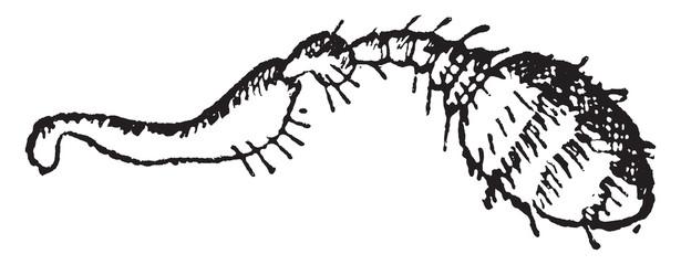 Myelophilus, vintage engraving.