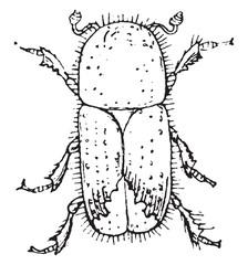 European spruce bark beetle, vintage engraving.