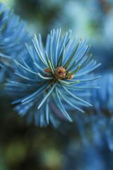 Pine thorn needles on a branch closeup