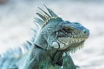grey blue iguana