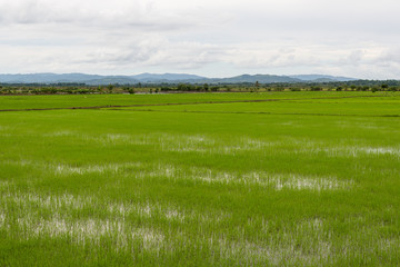rice paddies in the middle east of the Dominican Republic
