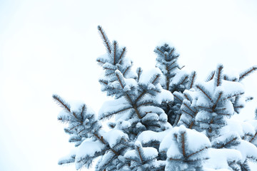 Fir branches covered with snow, closeup