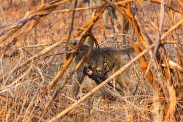 African baboon
