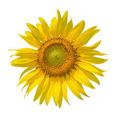 Sunflower isolated on black background. clipping path
