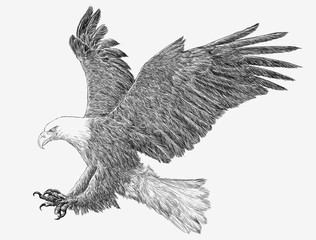 Bald eagle landing attack hand draw monochrome on white background illustration.