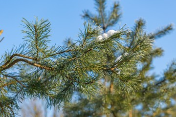 Pine tree branches in winter
