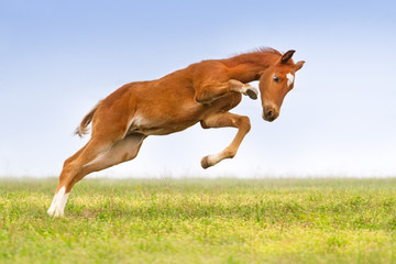 Red colt jump and play on the meadow