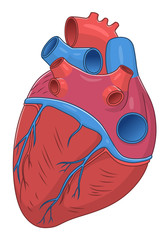 Heart diaphragmatic surface