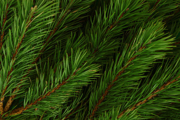Background of pine branches. Coniferous green texture.