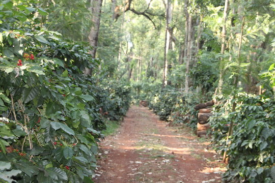 natural walkway in the coffee plantation, with coffee plants with their red fruits and tall silver oak trees all around