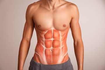 Human abdominal muscle. Wall mural