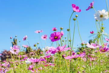 Cosmos pink flower Family Compositae in garden