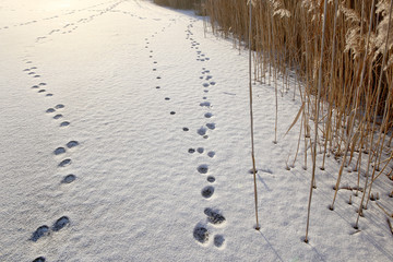 Traces of hares in snow. Traces on frozen lake in sunset time.