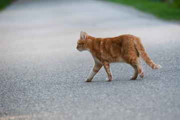 Katze geht über Straße
