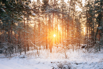 Sunset Or Sunrise In Snowy Forest Landscape. Sun Sunshine With N