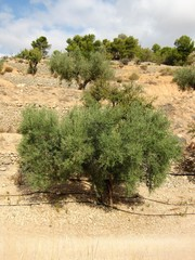 terraced olive trees with drip irrigation