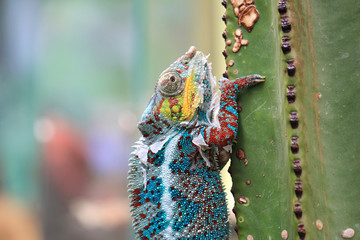 Portrait of chameleon sitting on a cactus