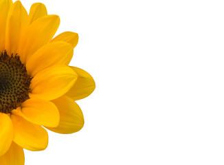 Half Sunflower on White Background