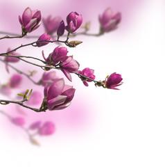 Flowering branch of magnolia (Saucer magnolia or Magnolia Soulan