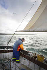 Traditional sustainable oyster fishing. A fisherman on a sailing boat sorting the oyster catch