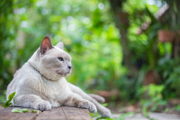 Thai house cat, Siamese cat species sit on wooden.