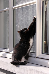 black and white cat at the window wants to get in