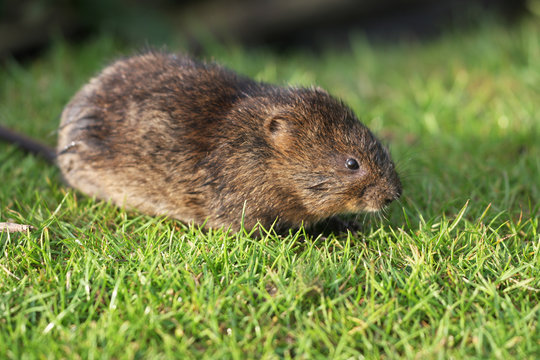 The European water vole or northern water vole, Arvicola amphibius, is a semiaquatic rodent.