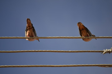 wire, bird, birds, blue, sky, nature, singing, silhouette, sitting, electricity, cable, perched, lark, electric