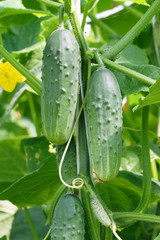 Growing cucumbers hanging on the branch