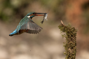 Adult female of Common kingfisher with a fish in the freshly caught fish . Alcedo atthis