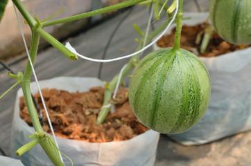 Fresh melon growing in greenhouse farm