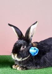 Black rabbit with blue ribbon