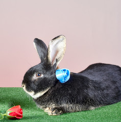Black rabbit with a blue ribbon around his neck lies near a rose