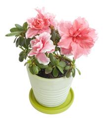 Beautiful azalea blossom in a flower pot