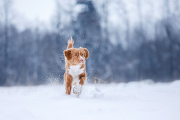 Dog runnig over a stick in nature, winter and snow