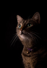 Brown tabby cat on dark background, looking up with curiosity, lit from one side