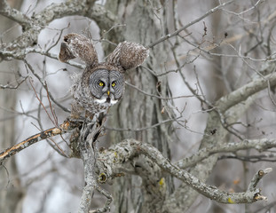 Great Grey Owl Taking Off From Tree in Winter