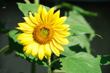 close up on single sunflower blooming