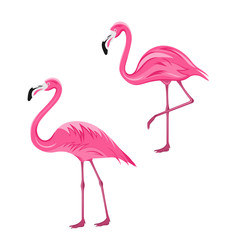 Couple Pink Flamingos Isolated on White Background
