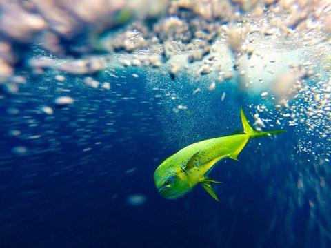 Offshore Fishing Mahi Mahi