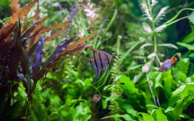 Angelfish in Planted Tropical Aquarium