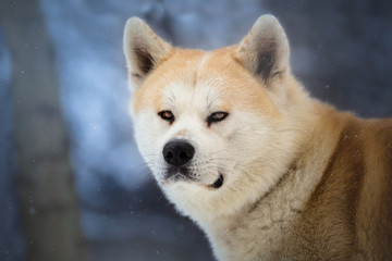 Hachiko - Japanese Dog Akita Inu in the winter forest