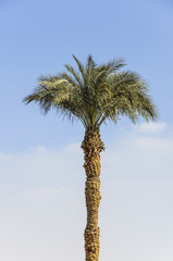 The palm tree with blue sky background