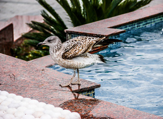 Gull in the pool