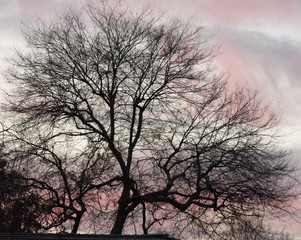 Leafless tree at sunset