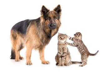 Papier Peint - Shepherd dog and cat with frightened kitten