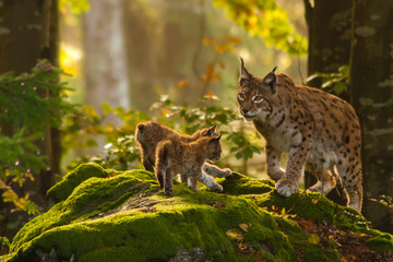 Printed kitchen splashbacks Lynx Luchs mit Jungen
